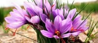 معجزه زعفران در پیشگیری از سرطان