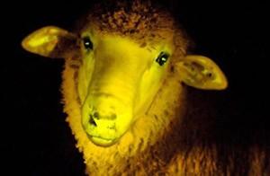 گوسفند شب تاب هم به تولید انبوه میرسد!! (عکس)