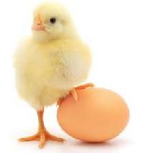 مصرف تخم مرغ بهتر است یا دیگر پرندگان؟