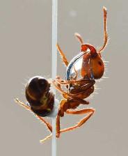 با فوائد روغن مورچه آشنا شوید؟