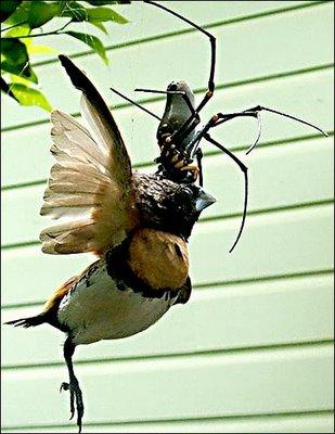 عکس از عنکبوت پرنده خوار