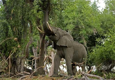 African elephant foraging in a treeحیوانات رکورد دار ! بسیار بسیار جالب و باور نکردنی!