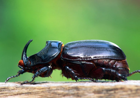 Close-up of a rhinoceros beetle