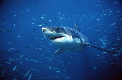 Great white shark swimming with fish