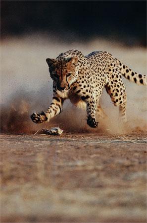 Cheetah chasing prey
