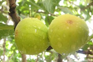 انجیر میوه ای جهت بالا بردن تراكم استخوان