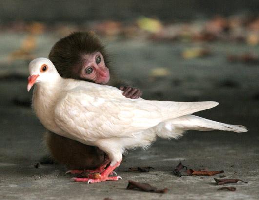عکس زیبا از میمونی که عاشق کبوتر شده!!