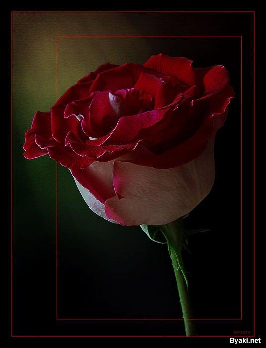 عکسهایی از گلهای بسیار زیبا ، www.irannaz.com