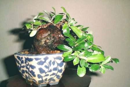 عکسهای دیدنی از درختان بونسی یا بونسای Bonsai ( مینیاتوری )