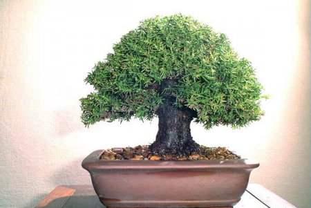 عکسهای دیدنی از درختان بونسی یا بونسای Bonsai ( مینیاتوری ) ، www.irannaz.com