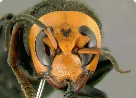 زنبور غول آسایی که براحتی انسان را میکشد!!