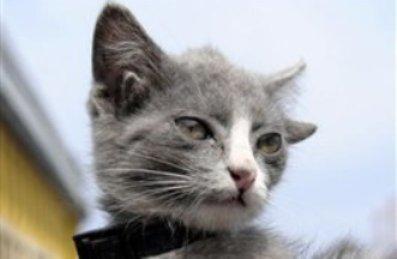 گربهای که چهارتا گوش دارد!! (+عکس)