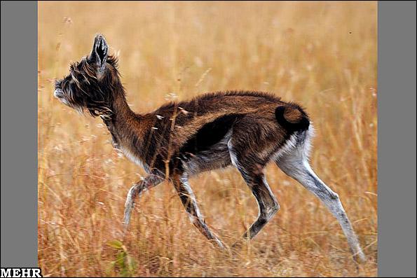 کشف یک جانور بسیار عجیب در آفریقا!! (+عکس)