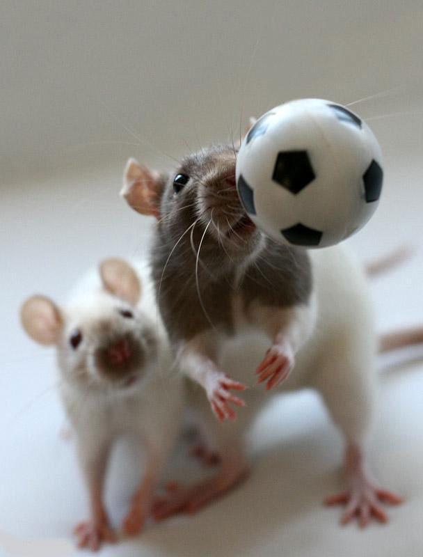 عکس هایی بسیار بامزه و دیدنی از موش ها