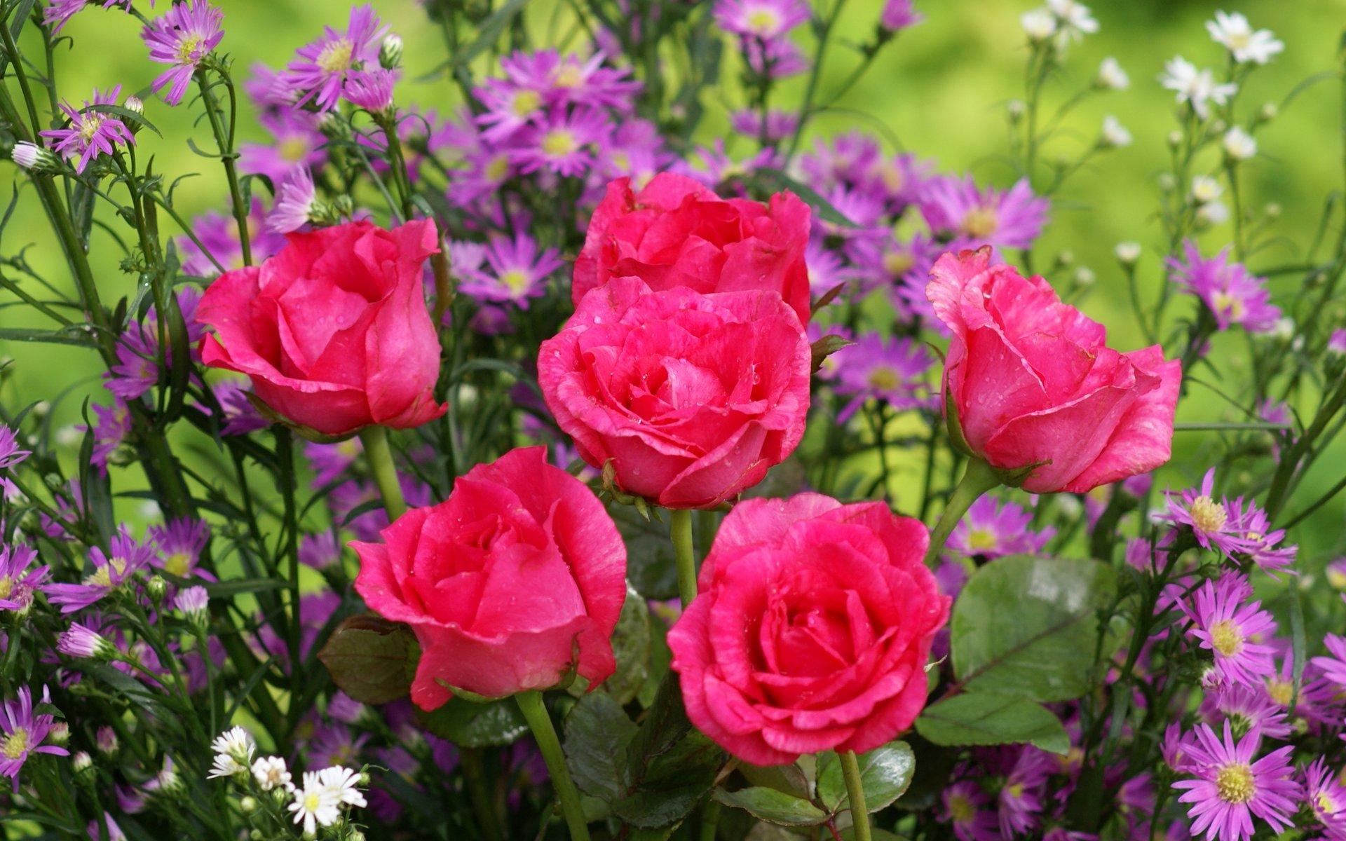 گلهای رز بسیار زیبا تقدیم به همه بینندگان ایران ناز