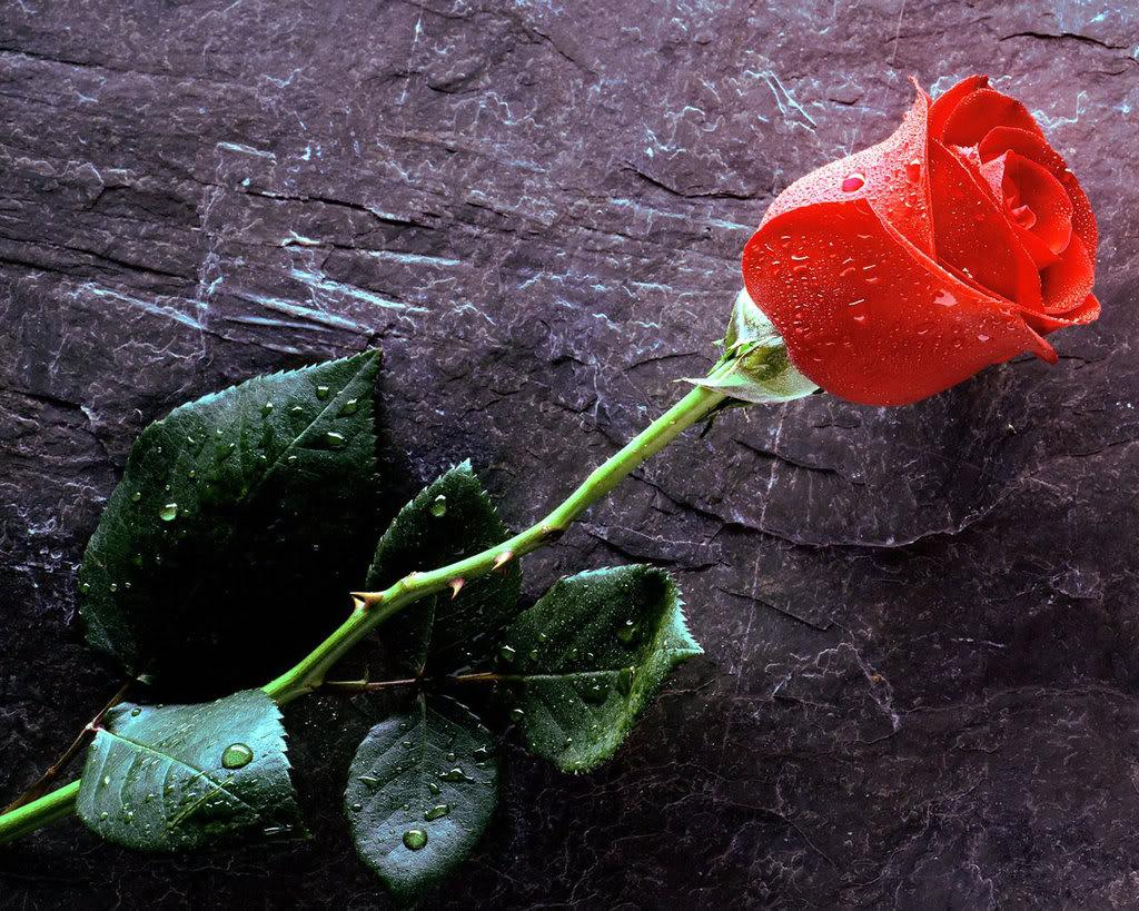 گلهای رز بسیار زیبا