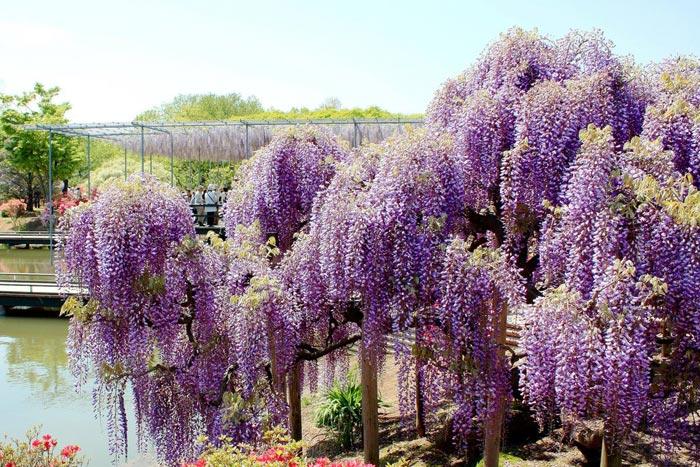 عکس هایی از باغ گلی زیبا و رؤیایی در ژاپن