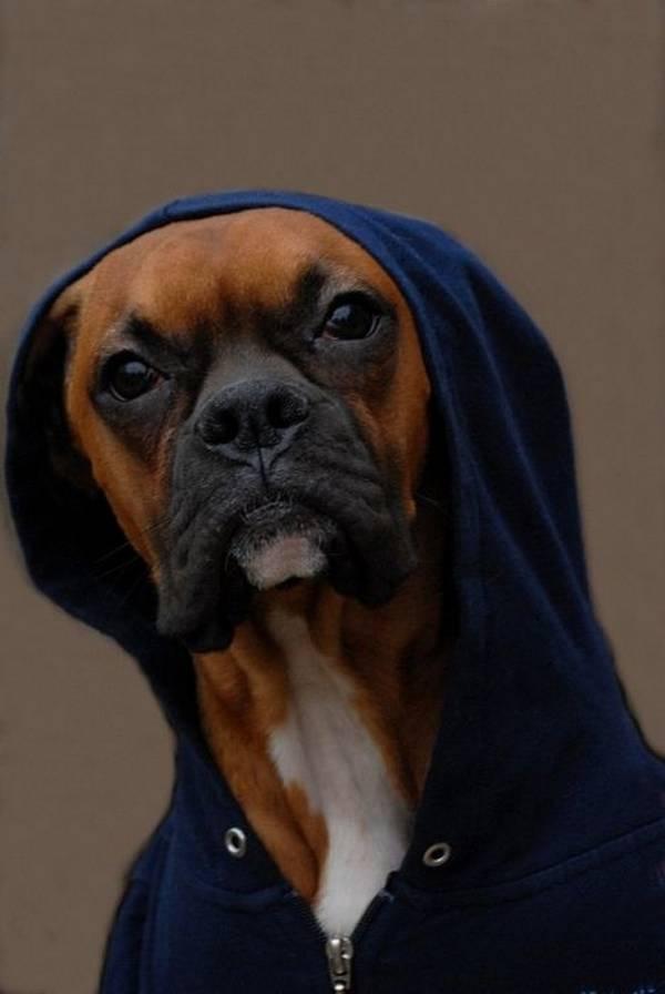 عکسهایی بسیار بامزه از سگ های گانگستر