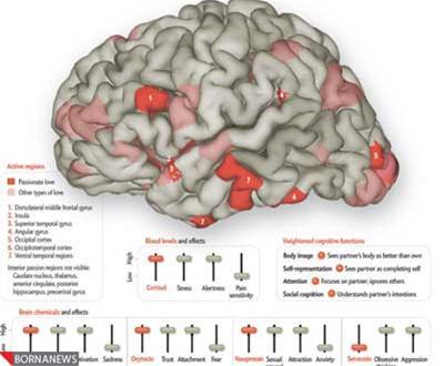 عکسی جالب از مغز انسان در حالت عاشق بودن