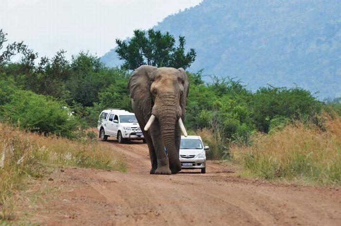 تصاویری خنده دار از عاقبت سبقت گرفتن از یک فیل