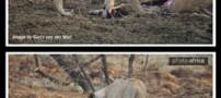 حرکت باور نکردنی یک ماده شیر (+تصاویر)