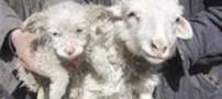 گوسفندی که یک توله سگ بدنیا آورد+عکس