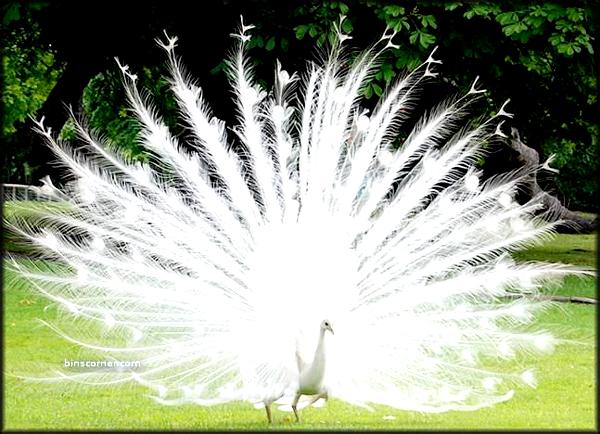 تصاویری دیدنی از زیباترین طاووس های جهان