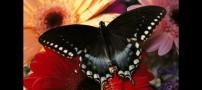 عکس هایی از زیباترین پروانه های دنیا+توضیح