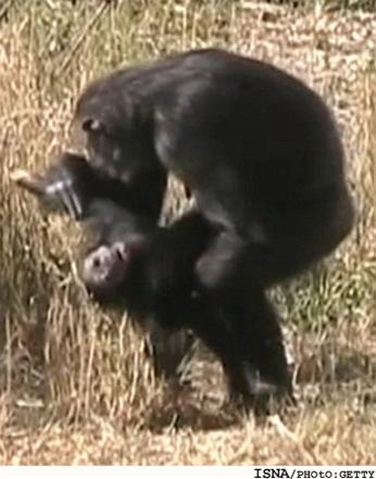 عکسی دلخراش از سوگواری انسانوار یک شامپانزه