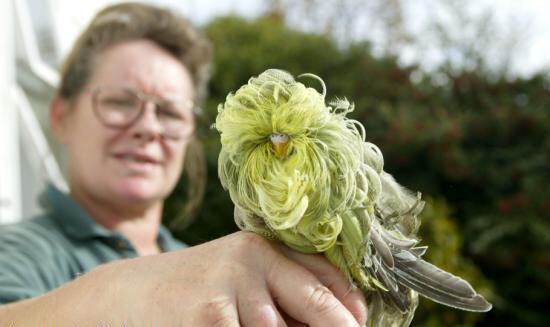 عکس هایی دیدنی از عجیب ترین مرغ عشق دنیا