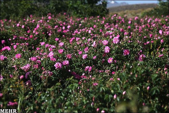 عکسهای دیدنی از برداشت گل محمدی و گلاب گیری