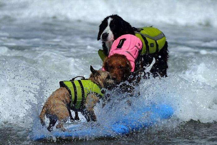 عکس هایی بامزه اسکی کردن سگ ها روی آب
