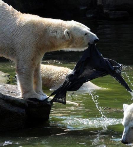 حرکت عجیب زن و حمله خرسهای قطبی (تصویری)