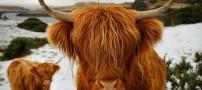 گاوی با موهایی ژولیده + عکس