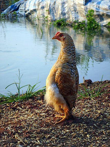 مرغی بسیار عجیب که ایستاده راه می رود +عکس