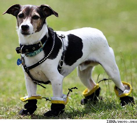 سگی بسیار با مزه که با کفش راه می رود!!! +عکس