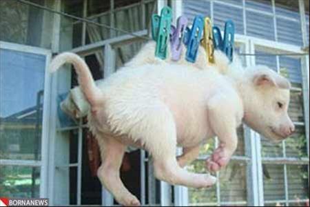 آویزان کردن یک توله سگ بر روی طناب لباس +عکس