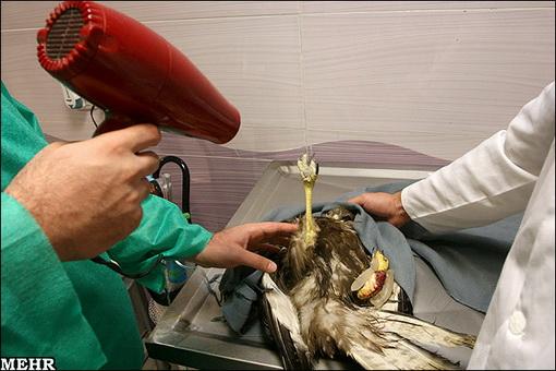 عکس هایی دیدنی از عمل جراحی عقابی تیر خورده