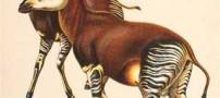 حیوانی عجیب نتیجه جفت گیری زرافه و گورخر +عکس
