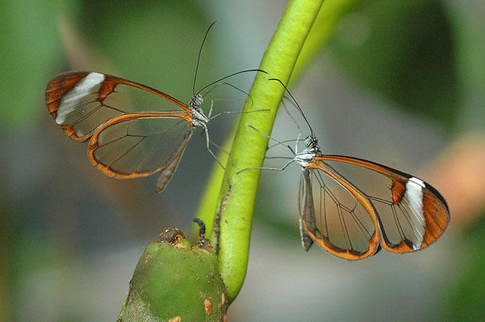عکس هایی زیبا و شگفت انگیز از پروانه های شفاف