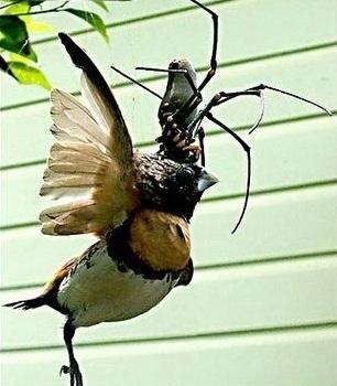 عنکبوتی غول پیکر و پرنده خوار!