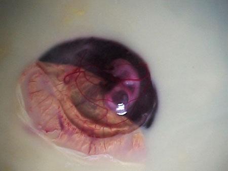 عکسهای مراحل رشد جوجه در تخم