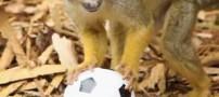 عکس های بامزه میمون های فوتبالیست در باغ وحش