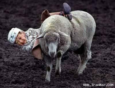 عکس های دیدنی  از گاو بازی از نوع کودکانه با گوسفند