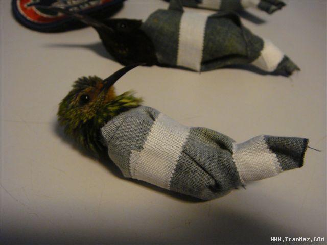 عکس هایی از قاچاق باور نکردنی پرندگان با شورت!!!!