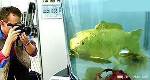 کشف یک ماهی شگفت انگیز طلایی در تایوان +عکس