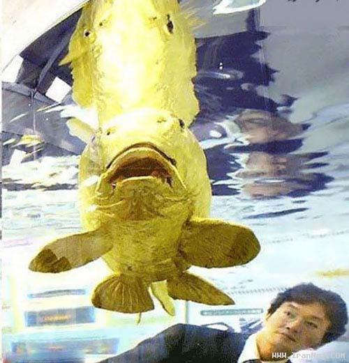 کشف یک ماهی شگفت انگیز طلایی در تایوان +عکس ، www.irannaz.com