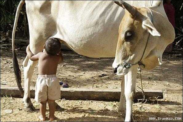 پسری که یک گاو را با مادرش اشتباه گرفته! + عکس