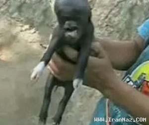 تولد بچه خوکی با سری شبیه انسان و میمون +عكس