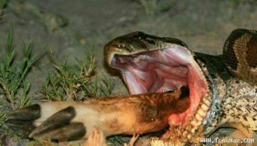 عکس های لحظه بلعیدن شدن بز کوهی توسط یک مار
